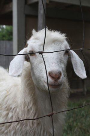 farm animals goat hanna 01 13 2014