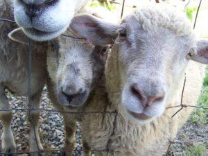 farm animals sheep.jpgily of kilby sheep 01 13 2014